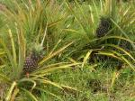 Pineapples growing on the ground
