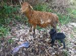 Baby goat just after birth